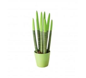Sanseveria Çiçeği Yeşil Renkte