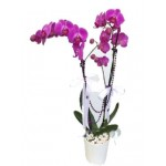 Lila Orkide 2'Li ( İthal )