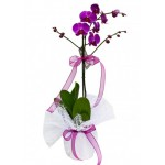 1'li Lila Orkide ( İthal )