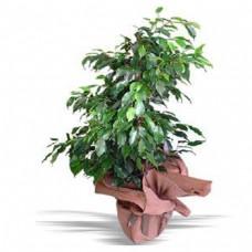 Bengamin Ficus